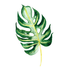 Watercolor illustration of palm leaf, monstera, isolated on white background.