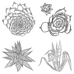 Set of succulents, cactus bouquet, Echeveria drawings, botanical vector.