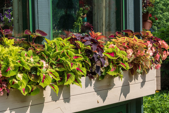Coleus and begonias in a window box