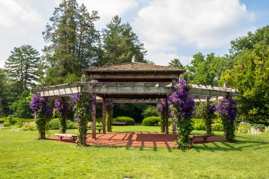 Clematis 'Jackmanii' in bloom on a pavilion in Elizabeth Park