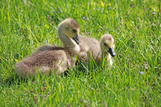 baby geese  resting in green grass waiting for mama to come