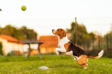Dog run Beagle fun and jumping