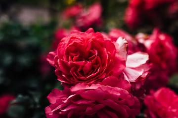 blooming red roses in summer garden