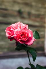 blooming pink roses in summer garden