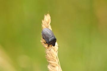 Eurygaster cf. austriaca