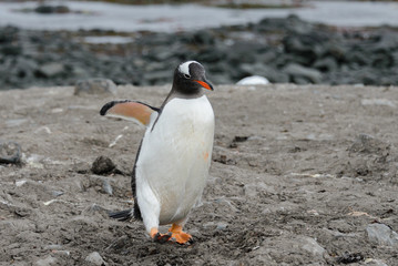 Gentoo penguin going on beach