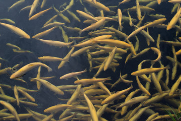 Pound full of amber trout fishes swimming freely in water on fish farm.