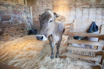 Brown Grey Gray Cow in a Barn at a Farm