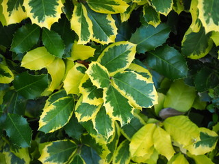 Green, yellow and variegated leaves on a holly bush