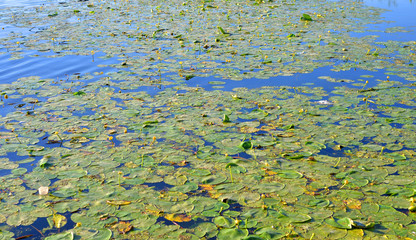 Yellow water lilies on lake.