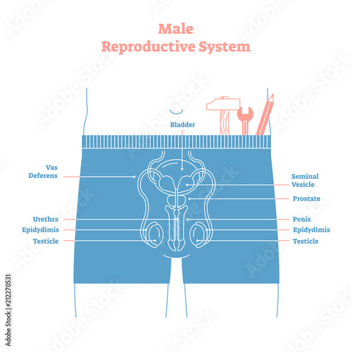 Artistic style male reproductive system vector illustration ...