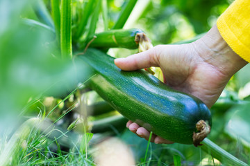 Harvesting zucchini in vegetable garden