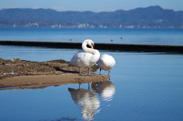 湖の白鳥の夫婦
