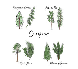 hand drawn conifer trees collection. vector watercolor illustration of trees. forest wood.