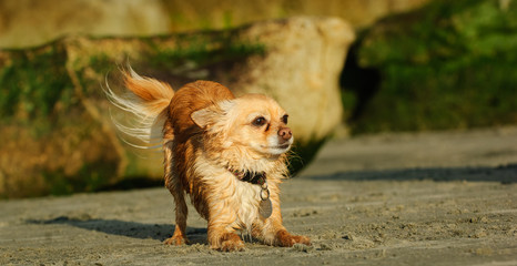 Chihuahua dog outdoor portrait bowing down on sand beach