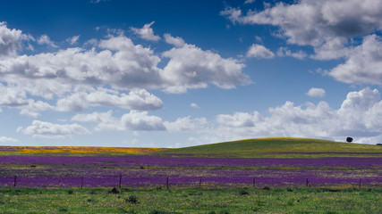 Poster Crimson Rural landscape with lavender wild field