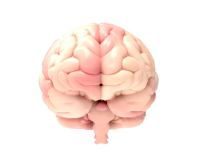 3D brain illustration rendering in front view