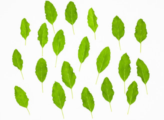 fresh green holy basil leaves isolated on white.selective focus.