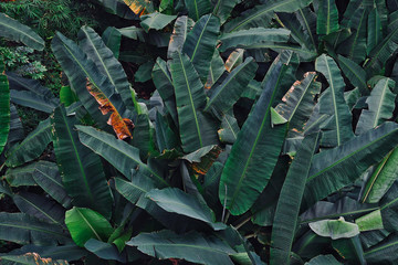 Top-view of banana leaves in tropical Nature concept leaves. dramatic tone