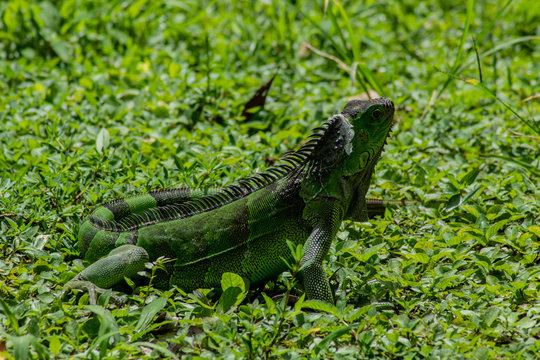 Green Iguana Lounging on Sunny Day