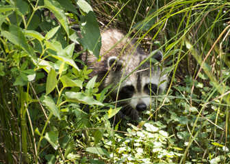 A young raccoon emerges from the brush in a Virginia wetland park.