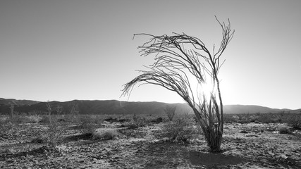 Joshua Tree National Park - Lone Tree