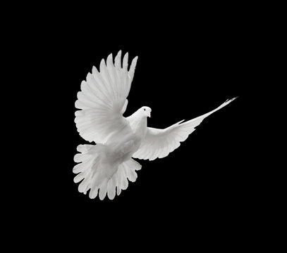 White dove on black background