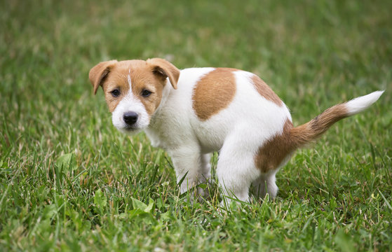 Cute Jack Russell Terrier dog puppy doing his toilet, pooping