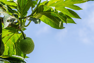 One young green breadfruit hanging in tree in tropical climate of Jamaica. Sky background text copy space.