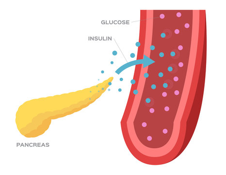 pancreas and insulin in blood vector