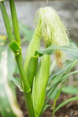 庭で育てるトウモロコシ