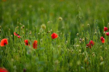 Red poppies in a green field covered with evening light