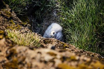 nestling gulls in the nest