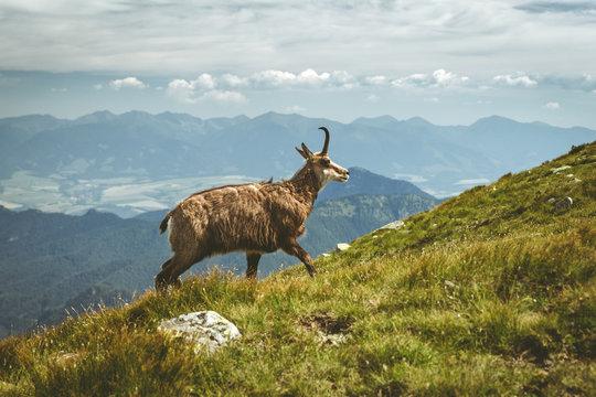 Tatra chamois on the hill