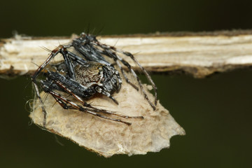 Image of brown lynx spider with its babies on nest. Insect. Animal.