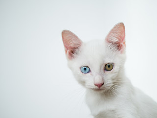 potrait of white cat with odd eye blue and yellow