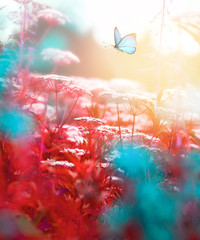 Fototapete - Blue butterfly flutters over meadow flowering grass in nature in the rays of sunlight at sunset, macro. Toned in red orange and blue tones.