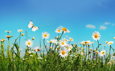 Wall Mural - Chamomiles daisies macro in summer spring field on background blue sky with sunshine and a flying white butterfly, close-up macro. Summer landscape, natura with copy space.