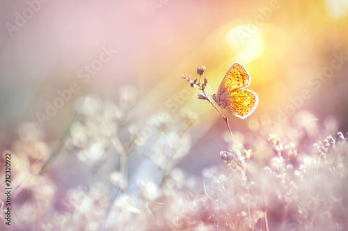 Fototapete Golden butterfly glows in the sun at sunset, macro. Wild grass on a meadow in the summer in the rays of the golden sun. Romantic gentle artistic image of living wildlife.
