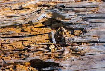 texture of moldering wood log. Old grungy and weathered brown wooden surface background