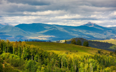 forested hills of Carpathian mountains. wonderful landscape in early autumn on a cloudy day. Pikui and Gostra mountain in the far distance.