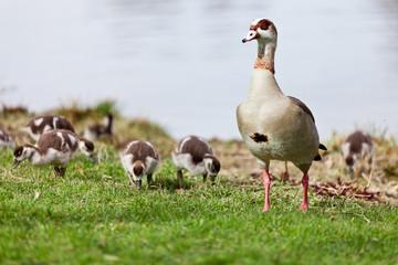 Nilgansfamilie am Seeufer