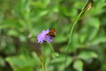 close-up brown butterfly on purple flower on soft blurred green background