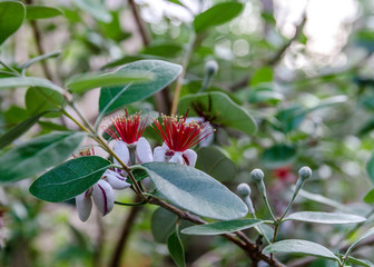 feijoa flowers and buds