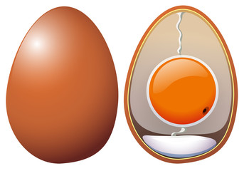 A Chicken Eggs Anatomy