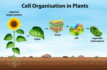 Cell organisation in plants