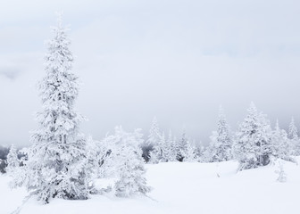 Fir in winter landscape