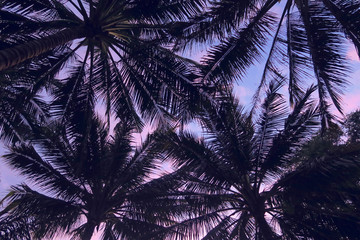 Dark palm trees leaves silhouettes at violet and pink sunset sky background