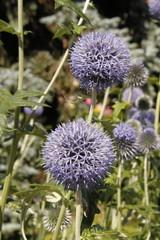 Fleurs Allium