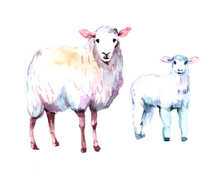 Sheep. Watercolor illustration